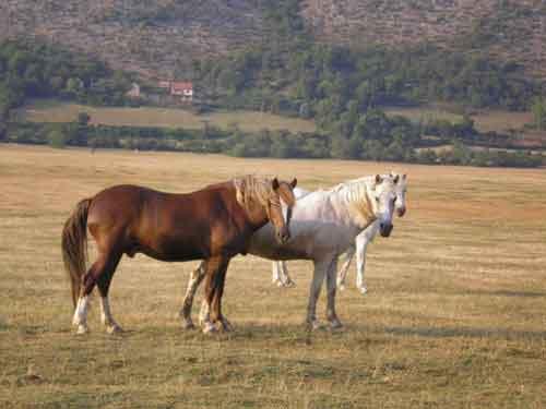 Kljenci,-konji